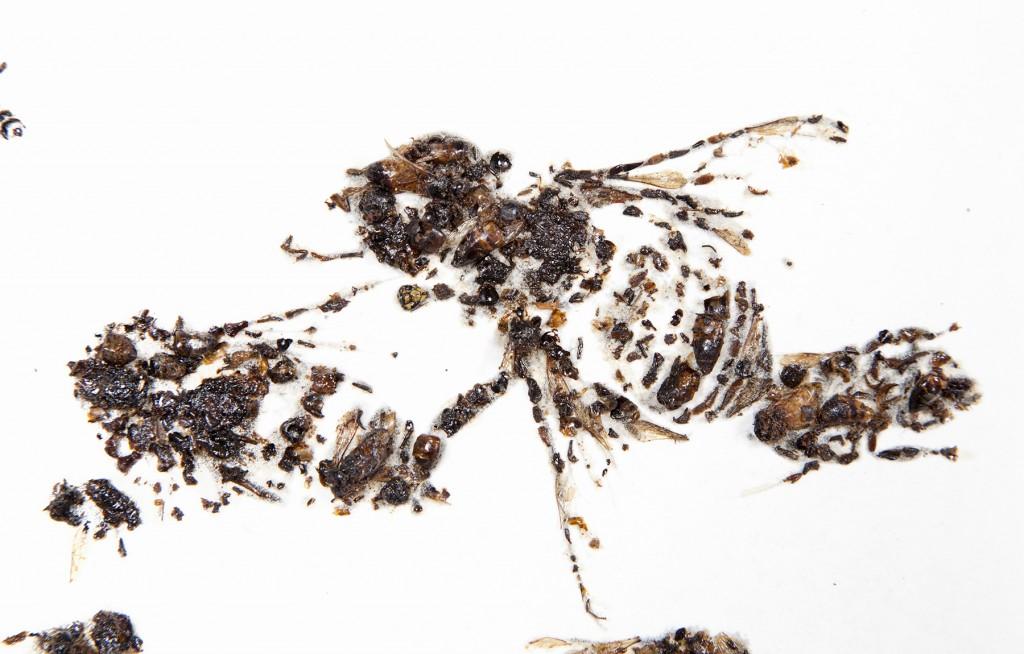 Abelhas de abelhas